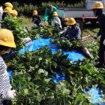 黒枝豆の収穫